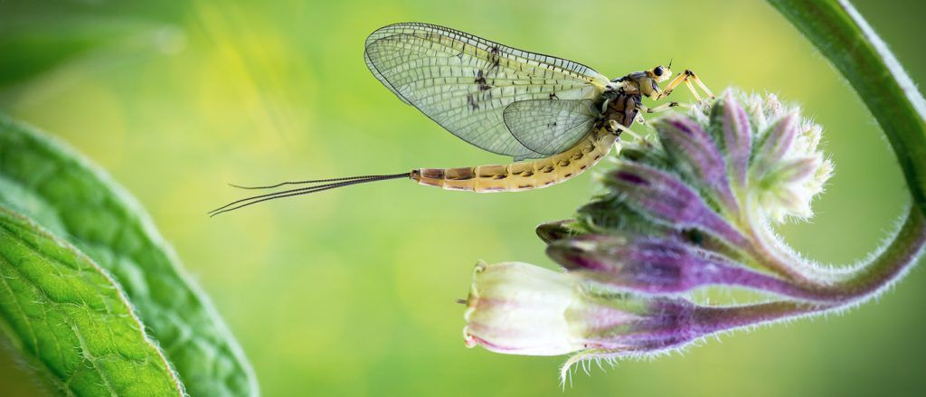 The Orvis virtual Mayfly Festival runs through May. Image by Richard Banbury.