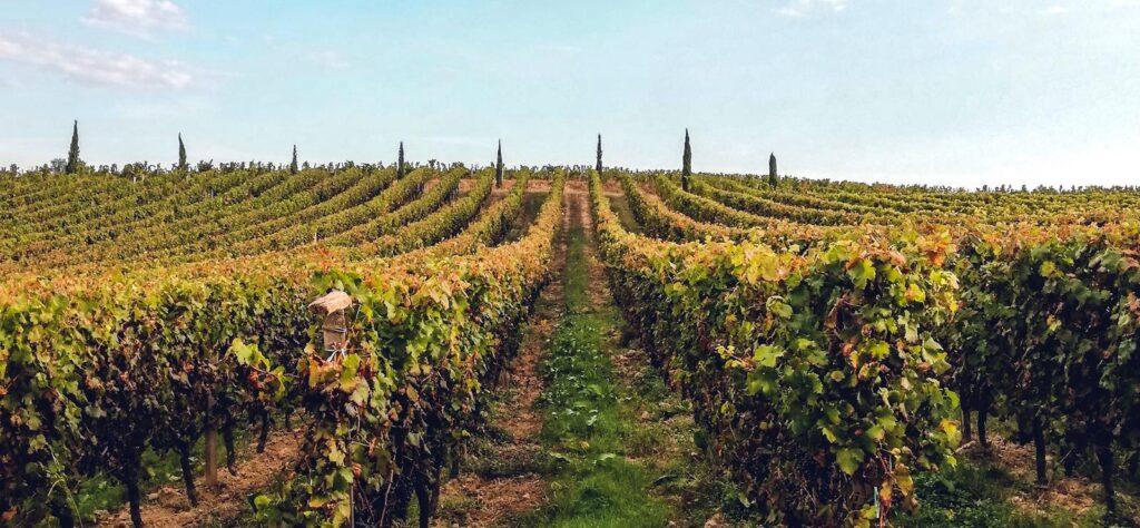 Armagnac vines