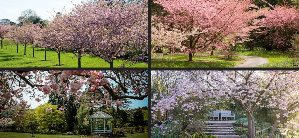 cherry blossom in the uk